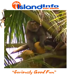 Island Info, Koh Samui, Monkey Business.2