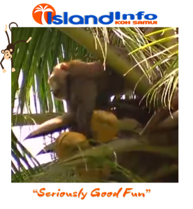 Island Info, Koh Samui, Monkey Business.4