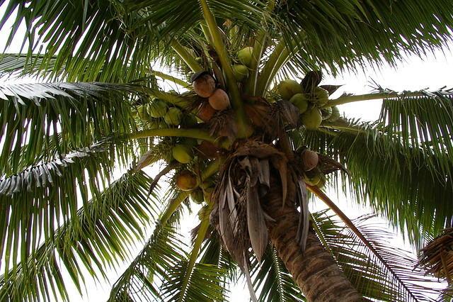 Monkeys, Coconuts, Koh Samui, Thailand,Island Info Samui