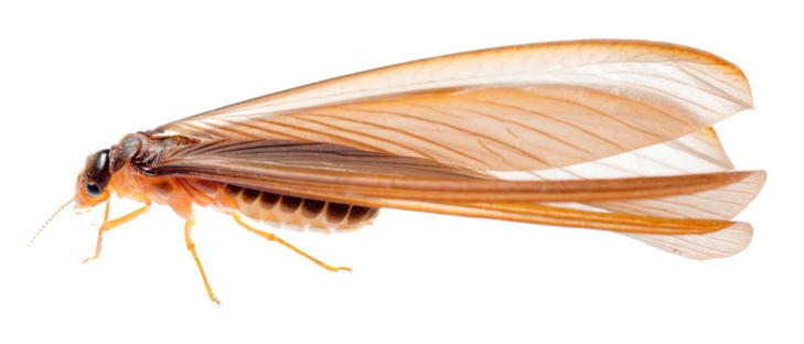 malaeng-mao-termite-mang mao-flying-insects-THAILAND (6)