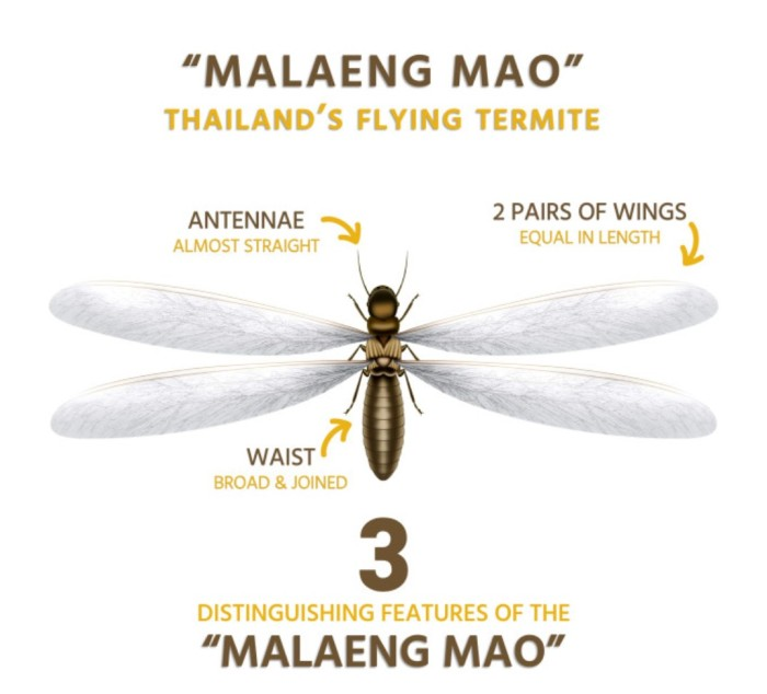 malaeng-mao-termite-mang-mao-flying-insects-thailand-3-differences