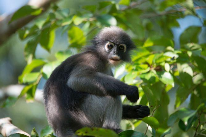 Mu Koh, emerald lake, ang thong national marine park, island info, samui, tours, Dusky_leaf_monkey_Trachypithecus_obscurus